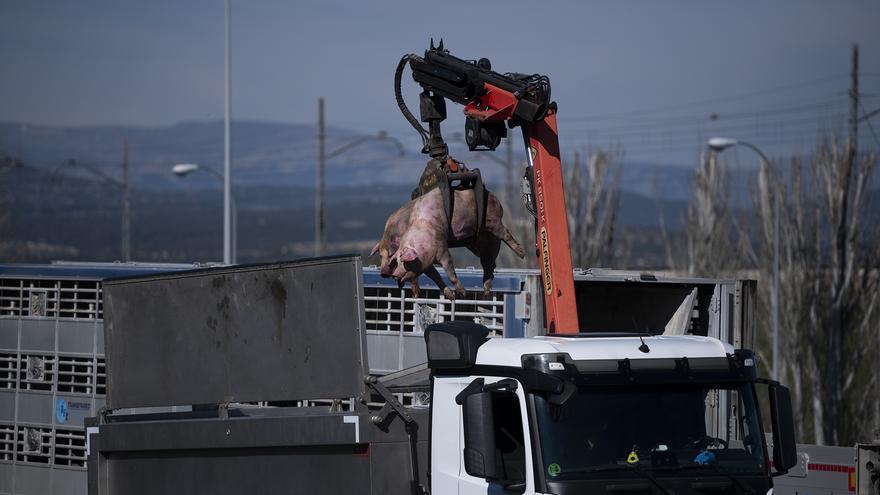 Accidente de un camión que transportaba cerdos al matadero