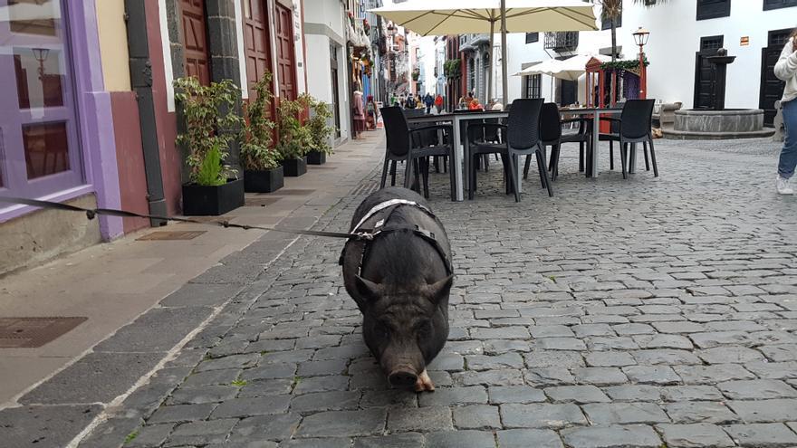 La cerda vietnamita Clody, en la tarde de este martes, durante su paseo por la Calle Anselmo Pérez de Brito de Santa Cruz de La Palma.