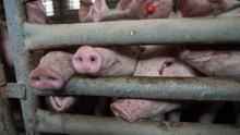 La versión industrial de la ganadería porcina prolifera en Aragón a espaldas de la problemática ambiental