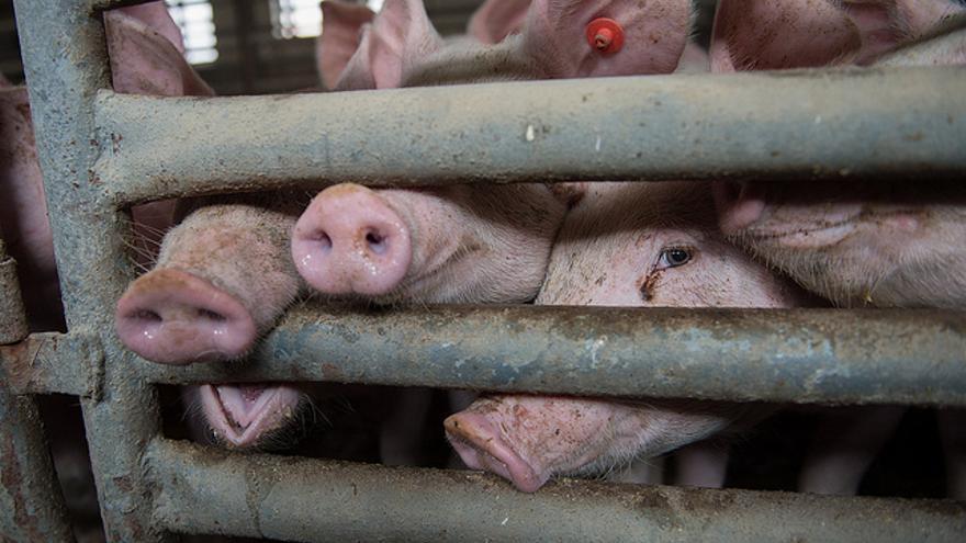 Granja de cerdos. Flickr / TheAnimalDay.org
