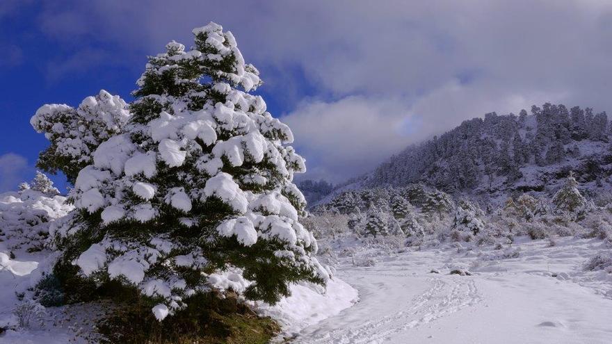 Pinsapos nevados en la Sierra de las Nieves (Málaga).