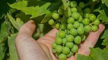 """ASAJA denuncia a los industriales del vino por """"ponerse de acuerdo"""" en los precios de las uvas"""