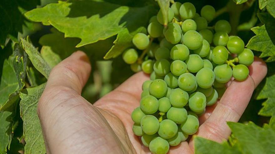 uvas de la mancha