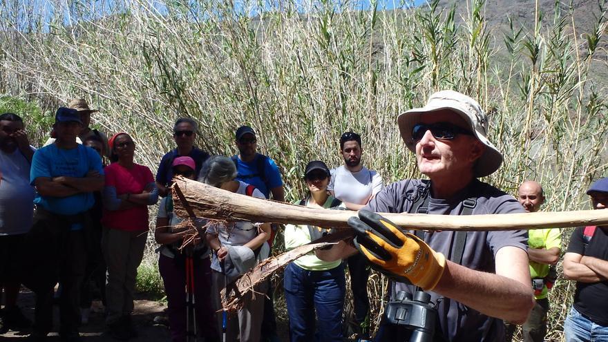 Ecologistas alertan de que una plaga de picudín afecta a los palmerales naturales del sur de Gran Canaria.