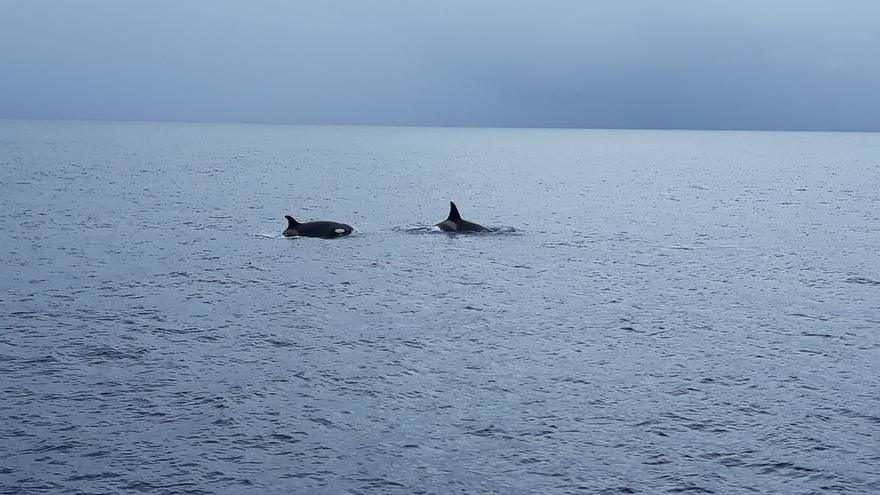 En la imagen, dos de las tres orcas avistadas en la tarde de este lunes frente a la costa de Fuencaliente.
