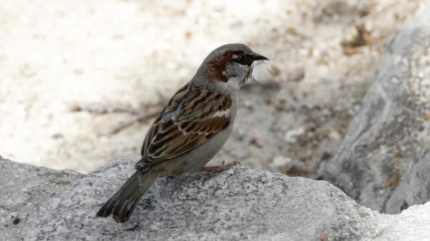Quédate en el nido, un mensaje que cobra sentido el Día Mundial del Gorrión
