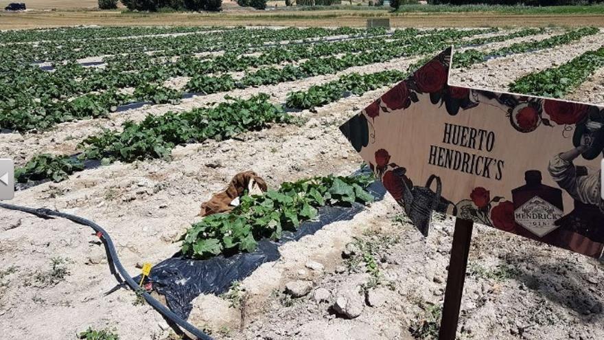 Huerto de pepinos en Huete (Cuenca) propiedad de la marca de ginebra Hendrick's