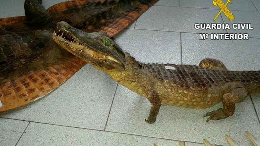 Se incautan dos caimanes disecados que se vendían en una nave de Alicante