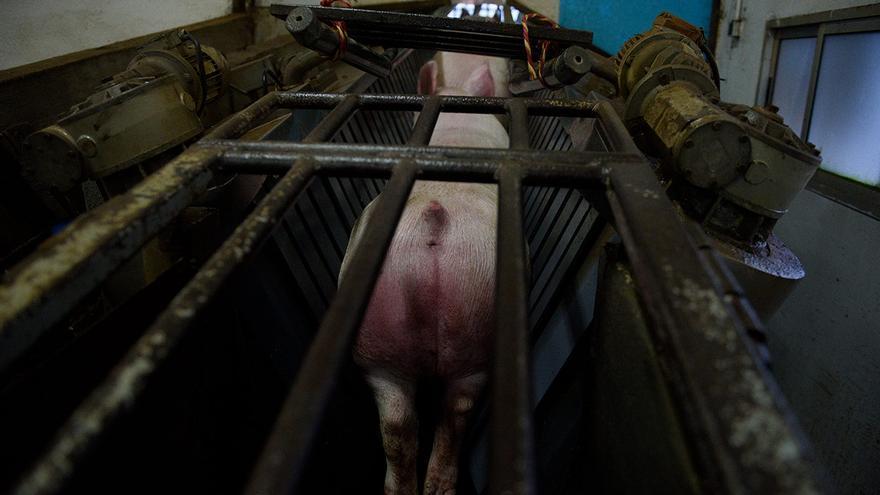 Cerdo en el inicio del restrainer, una máquina que inmoviliza y traslada a los cerdos de uno en uno desde los corrales hasta el punto de aturdimiento donde se les aplica la descarga eléctrica.