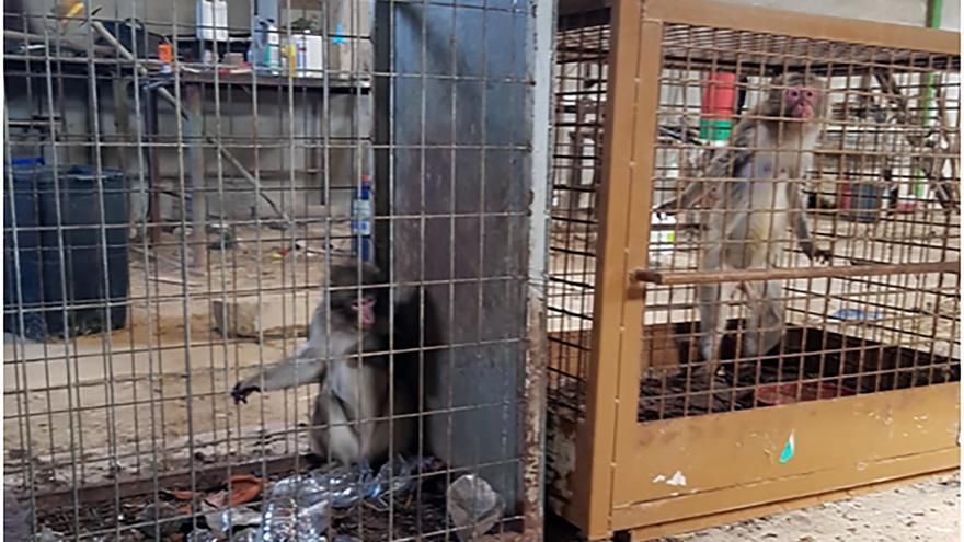 """Los macacos han sobrevivido, desesperados y enfermos, en una propiedad privada donde los tenían confinados como """"colección particular""""."""