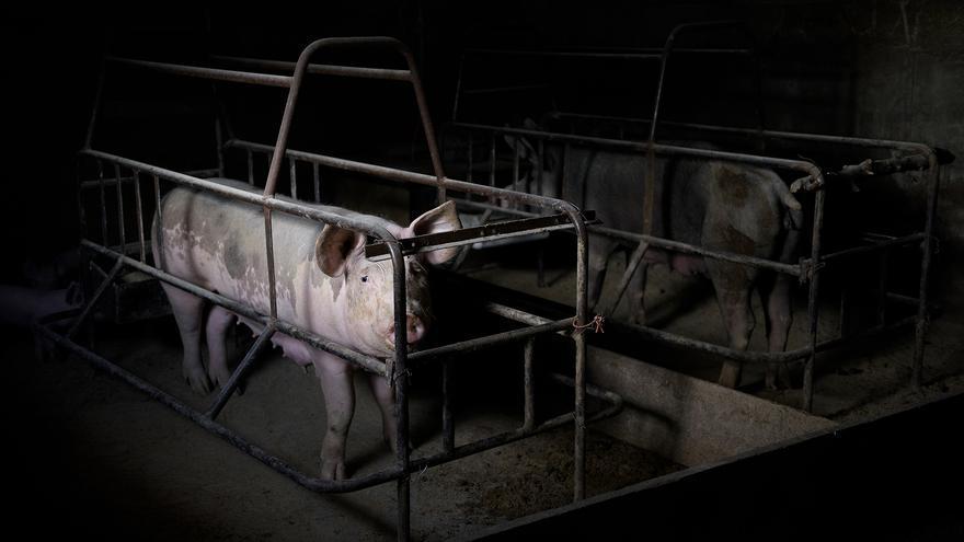 Cerda en una jaula de engorde y gestación. México. Foto: Tras los Muros