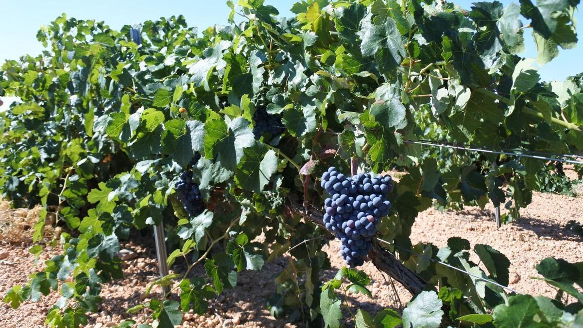 Viñedo de Castilla-La Mancha