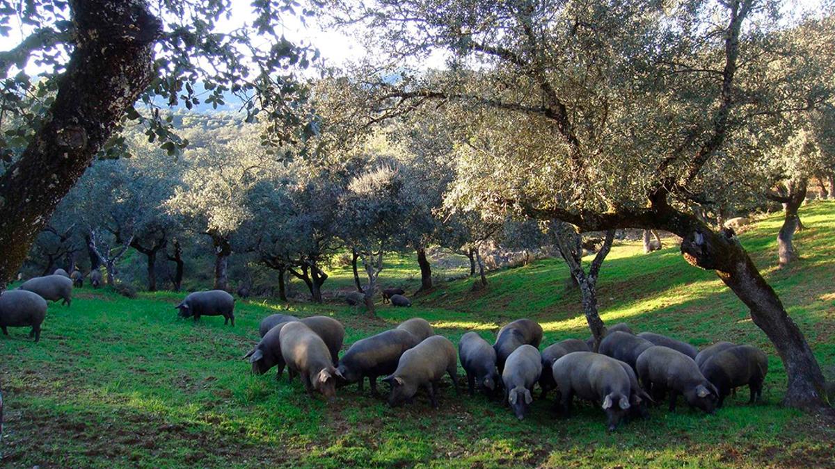 Cerdos se alimentan en una dehesa de Los Pedroches.