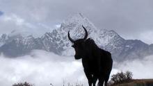 La silueta de un Yak se recorta en el perfil del Monte Everest. Rick McCharles
