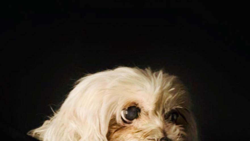 Lily pasó diez años encerrada en una jaula, usada como máquina de parir cachorros de raza bichón maltés. Cuando fue rescatada, tenía la mandíbula rota, estaba medio ciega, apenas sabía caminar.