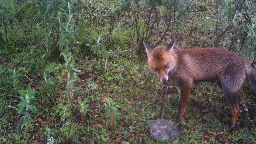 Los cazadores alaveses podrán cazar codornices, conejos, palomas, urracas o zorros desde el próximo miércoles