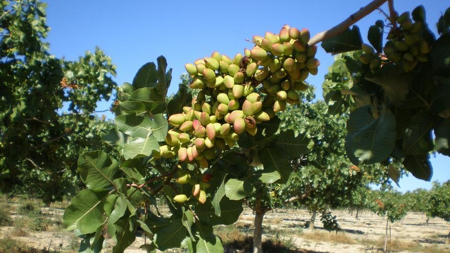 Andalucía roza las 2.500 hectáreas dedicadas al cultivo de pistacho, un 31% más que en la campaña anterior