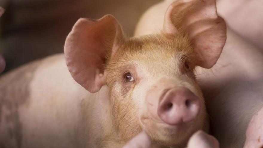 Imagen de un cerdo