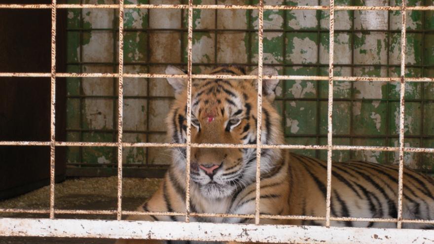 Tigre cautivo en el Circo Americano, con una herida en la cabeza. Foto: Libera!