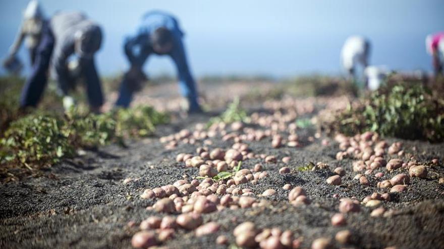 Cultivos de papas en enarenados de picón en Los Valles en Teguise