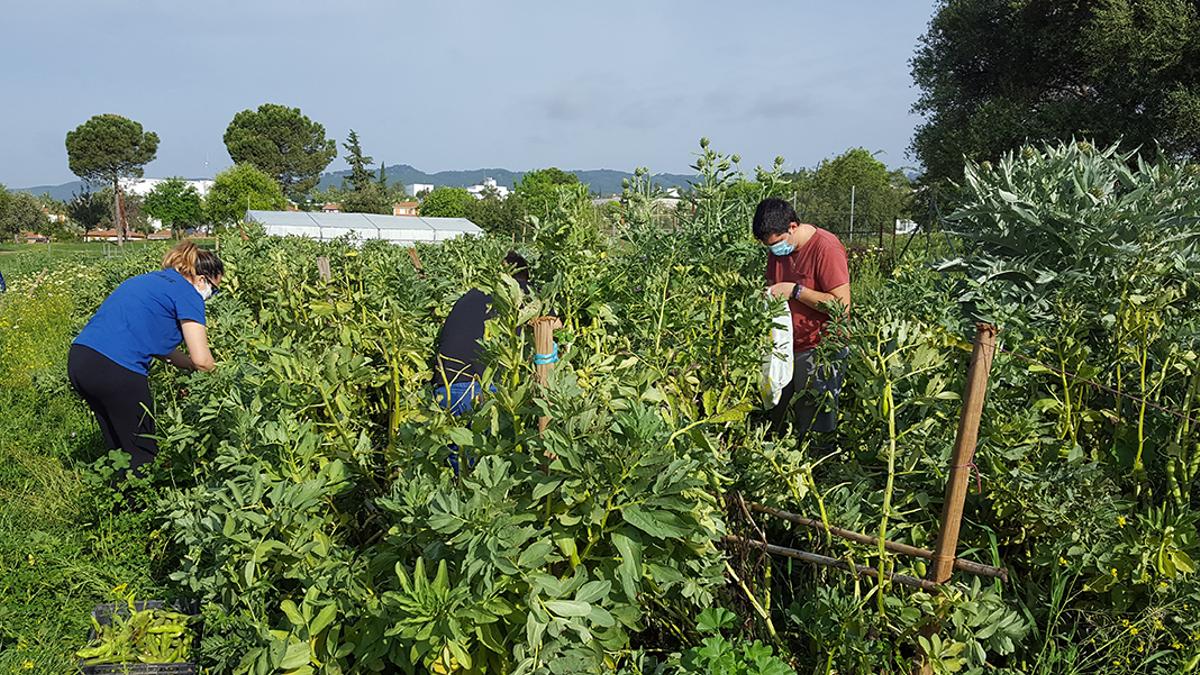 Recogida de verduras en los huertos de La Asomadilla.