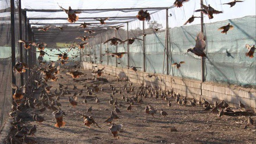 Captura de pantalla de un vídeo publicado en YouTube de una granja que cría perdices destinadas a la caza