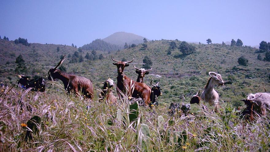 En la imagen, manada de cabras de raza palmera en pastoreo.