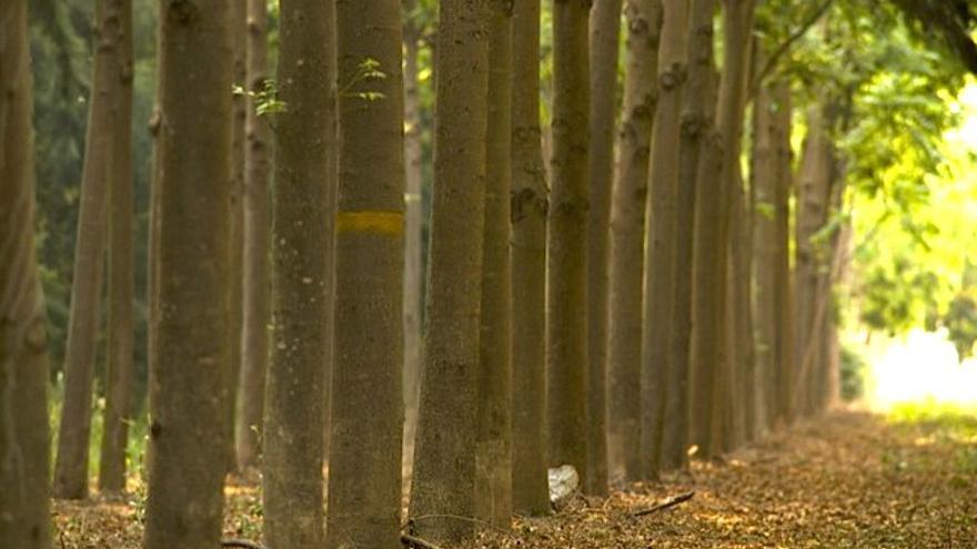 Cedros australianos clonados en las hectáreas primero deforestadas de La Moraleja, en Argentina