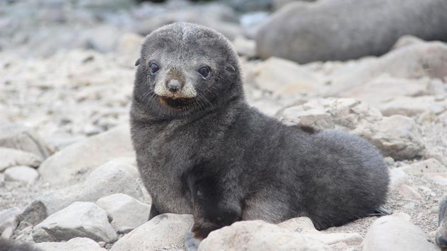 Cabo Shirreff, un oasis para la fauna antártica que cautiva a los científicos