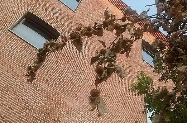 Detalle de una de las ramas de los árboles secos | SOMOS MALASAÑA