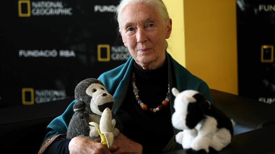 Goodall recuerda fascinada sus primeros descubrimientos sobre chimpancés
