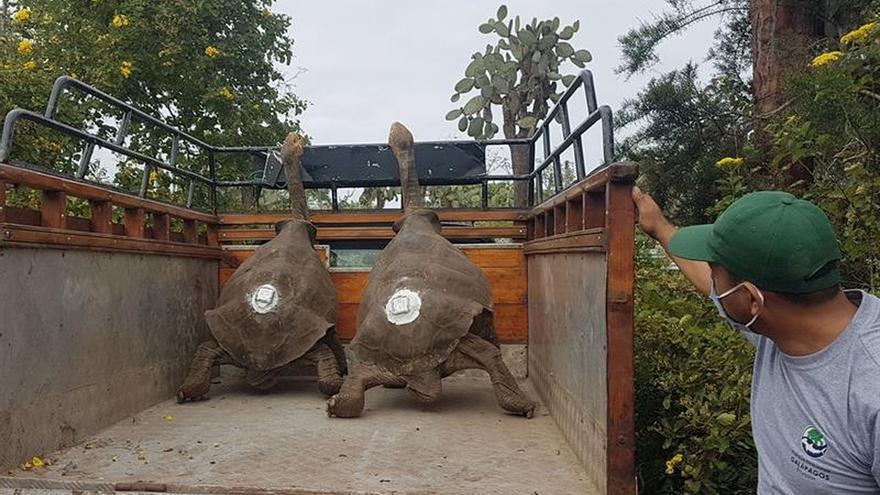 Diego, la tortuga inseminadora de Galápagos, vuelve a casa después de 87 años