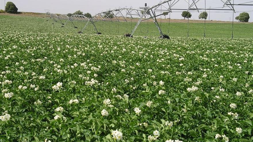 Plantación de papas.