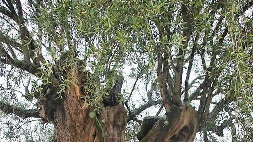 Mouchão, el olivo más viejo de la Península Ibérica con 3.350 años