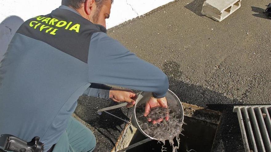 Desarticulan una banda que exportó 2,5 toneladas ilegales de angulas