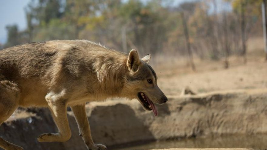 """El juego canino de """"traer la pelota"""" también funciona en lobos"""