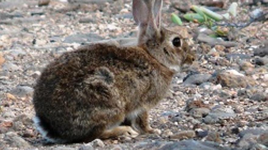 Conejo-3