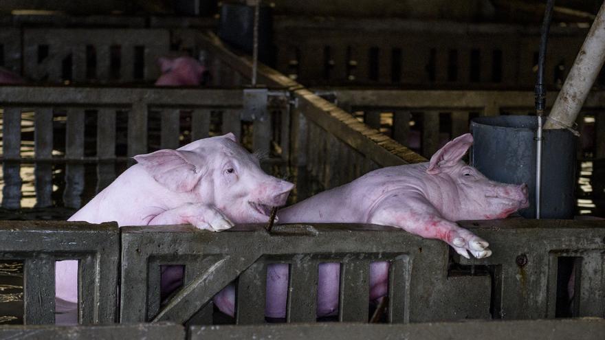 Cerdos en una granja de Villafranca de Ebro