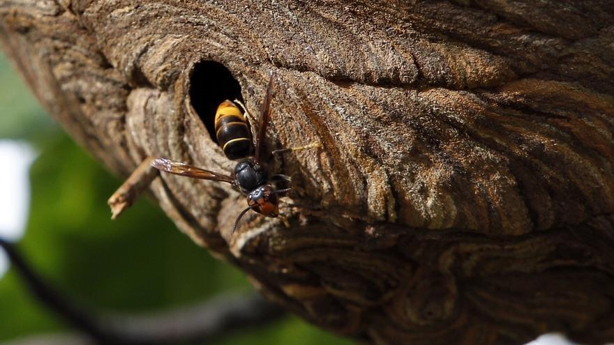 Hasta agosto se han retirado más nidos de 'avispón asiático' que en todo 2016
