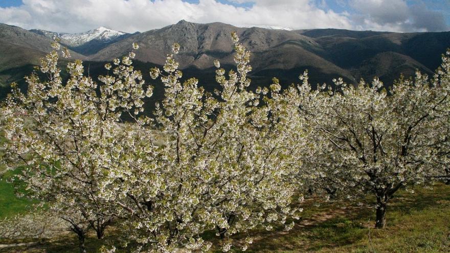 Cerezo en flor en el Valle del Jerte / Turismo Extremadura