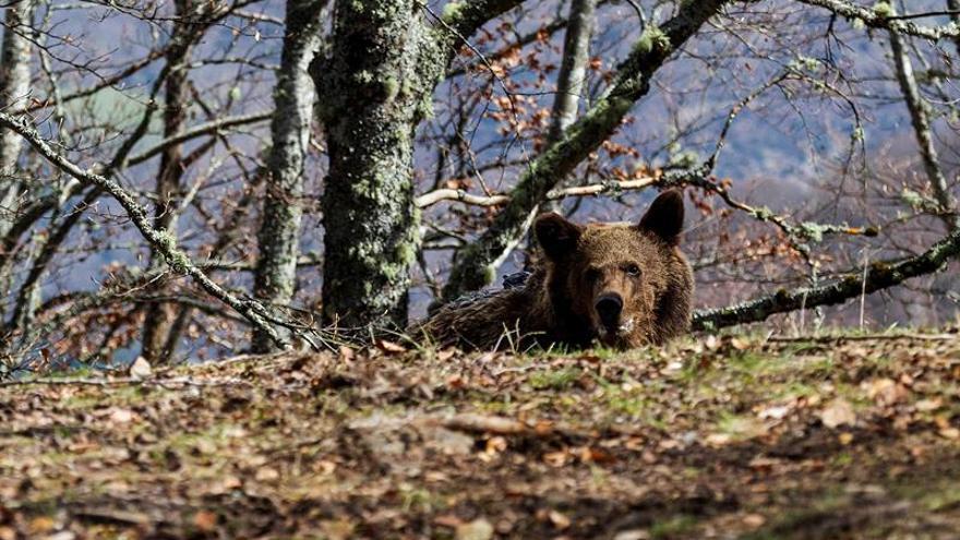 Beato, el más exitoso caso de reincorporación de un oso pardo a su hábitat