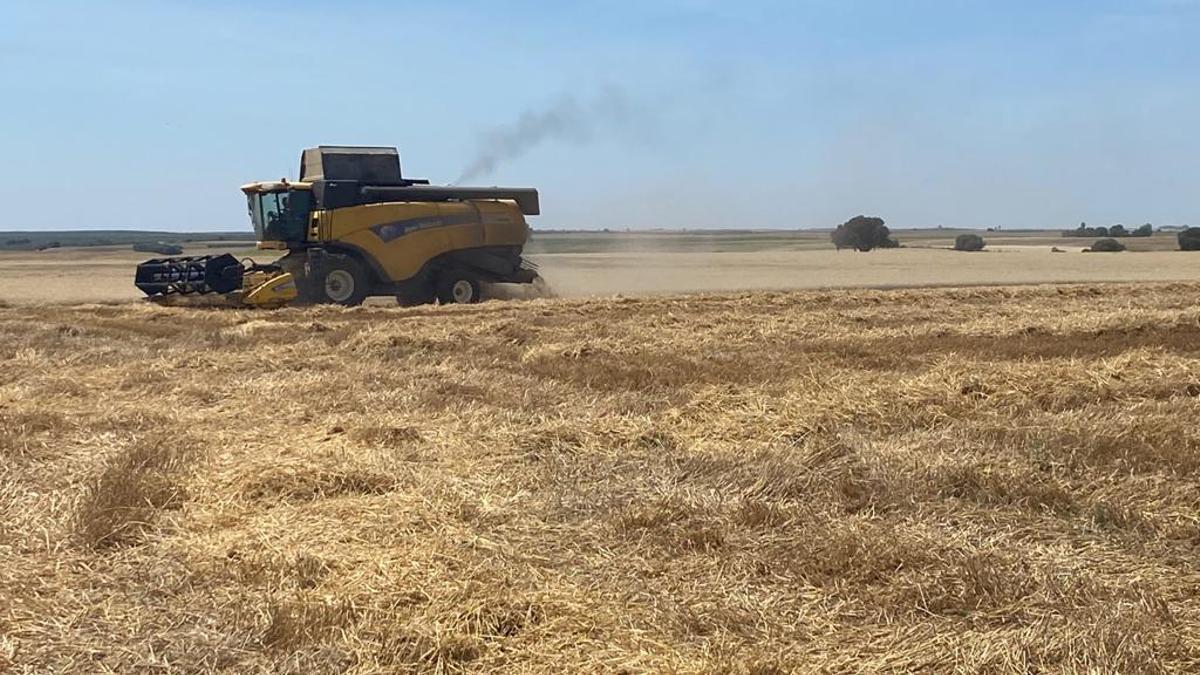 Una cosechadora segando trigo en la campiña cordobesa