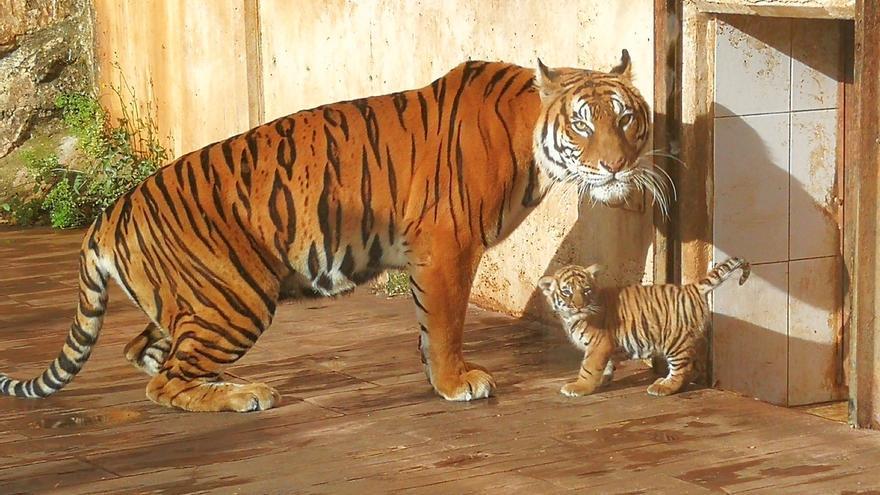 Nace un tigre de bengala en el Parque de la Naturaleza de Cabárceno