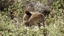 Imagen de archivo de un oso pardo.