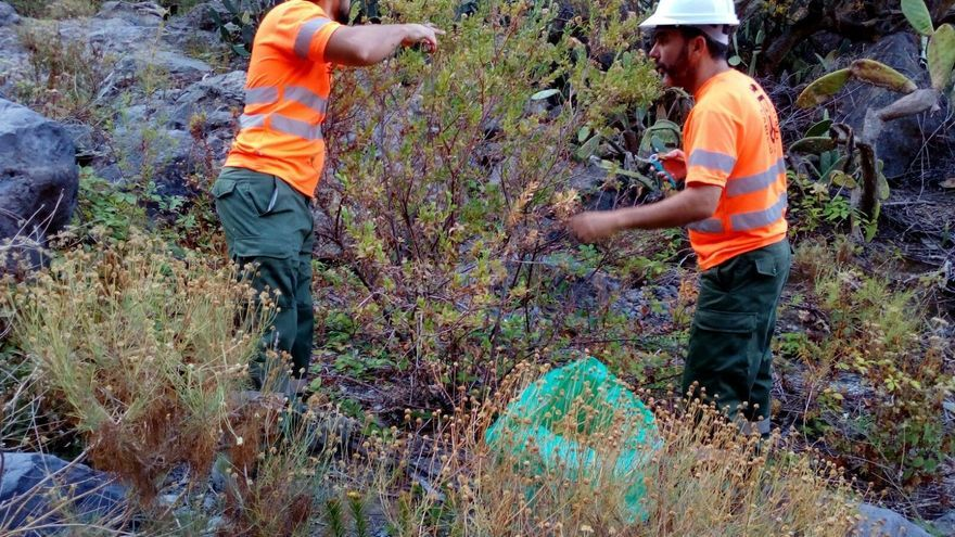 Cuadrillas del Cabildo de Tenerife retirando residuos vegetales