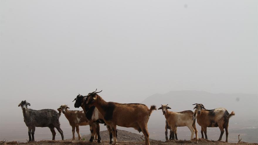 Ejemplares de ganado caprino que habita una zona árida