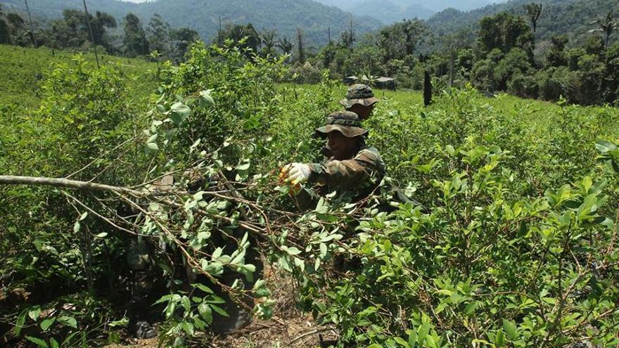 Bolivia reporta reducción de 1 % de cultivos de hoja de coca