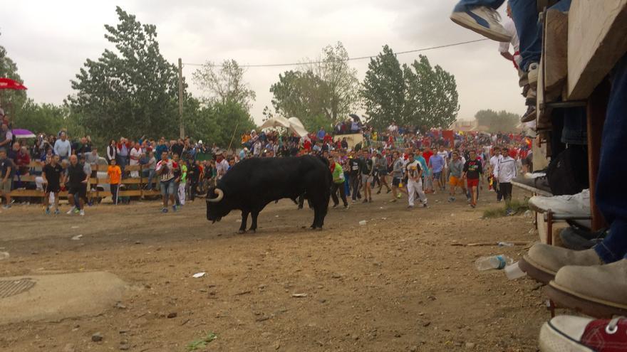 El toro Pelado, exhausto y asustado durante el encierro en Tordesillas. Foto: Ruth Toledano