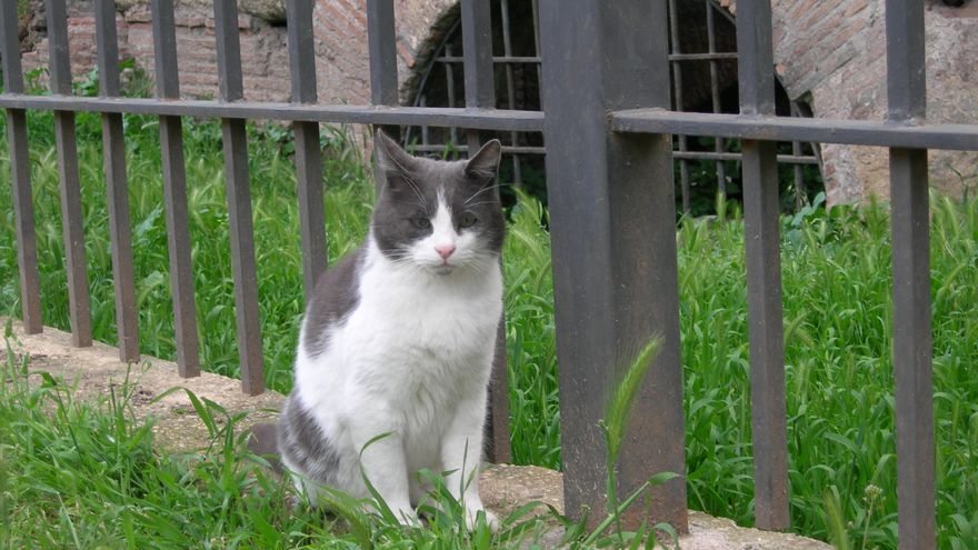 Gato de una colonia felina en Largo di Torre Argentina, Roma.