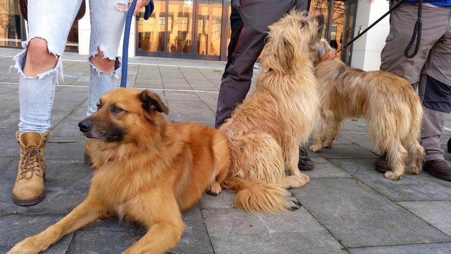 A la izquierda, un perro pastor vasco de la variedad gorbeiakoa. A la derecha, uno de la variedad iletsua